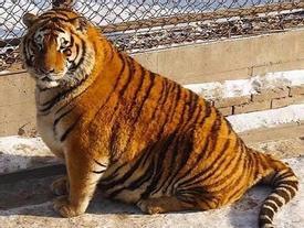 Sự thật về hổ béo núng nính vì ăn Tết ở Trung Quốc