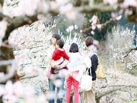 Hoa mận nở rộ khắp Nhật Bản