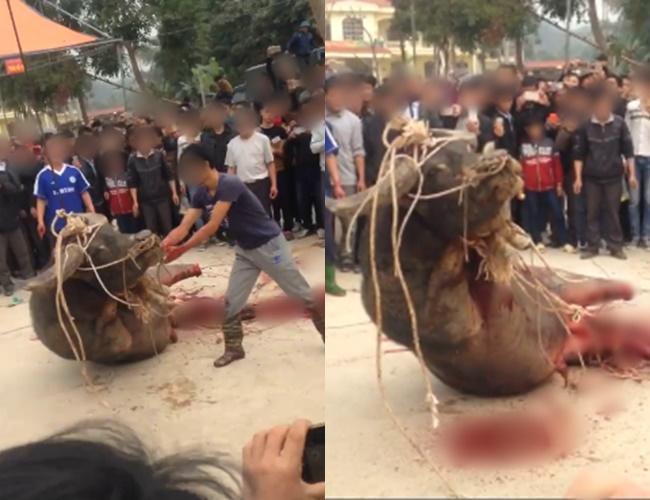 Hình Ảnh Gây Sốc: Con Trâu Bị Chặt Chân, Giết Thịt Dã Man Trước Sự Chứng  Kiến Của Người Dân