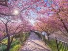8.000 cây anh đào nở rộ ở Nhật