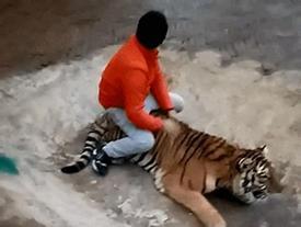 Clip: Nam thanh niên đùa giỡn với hổ, dư luận sục sôi phản ứng
