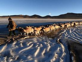Hàng nghìn con cừu di cư qua mặt hồ cao nhất thế giới