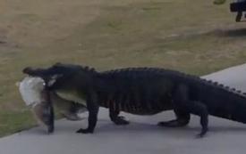 Người chơi sợ xanh mặt khi thấy con cá sấu miệng ngậm con mồi, lang thang trong sân golf