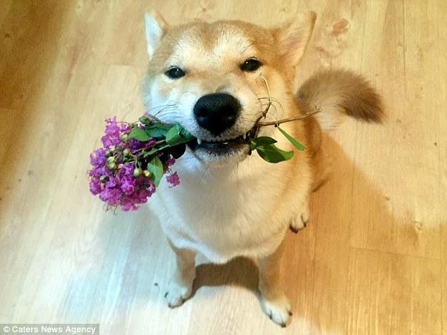 Nghĩ mình là người nên chú chó shiba đáng yêu chỉ thích cày phim và tô màu - Ảnh 5.
