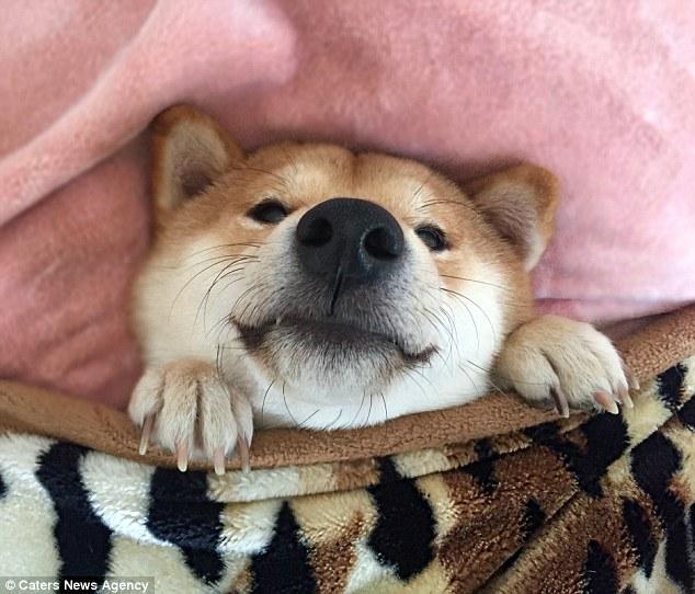Nghĩ mình là người nên chú chó shiba đáng yêu chỉ thích cày phim và tô màu - Ảnh 4.