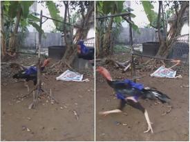 Máy tập đi bộ cực 'bá đạo' chỉ dành cho gà chọi ở Việt Nam