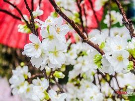 100% hoa 'xịn' tại Lễ hội hoa anh đào không làm du khách thất vọng