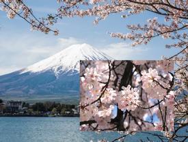 Hoa anh đào nở là sự kiện thu hút đông du khách nhất vào mùa xuân hằng năm.