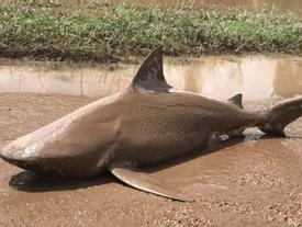 Cá mập ăn thịt người xuất hiện giữa phố Australia