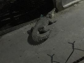 Đồng Nai: Cá sấu xổng chuồng bò nghênh ngang ngoài đường khiến người dân khiếp sợ