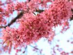 30/4, 'đưa nhau đi trốn' dưới con đường rực hồng hoa anh đào ở Trung Quốc