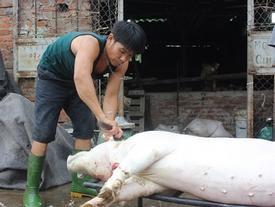 Chạy sô mổ thuê 10-15 con lợn mỗi ngày kiếm trăm triệu/tháng trong cơn bão lợn mất giá
