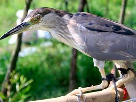 Ám ảnh đàn chim bị khâu mắt để nhử đồng loại ở Hà Tĩnh