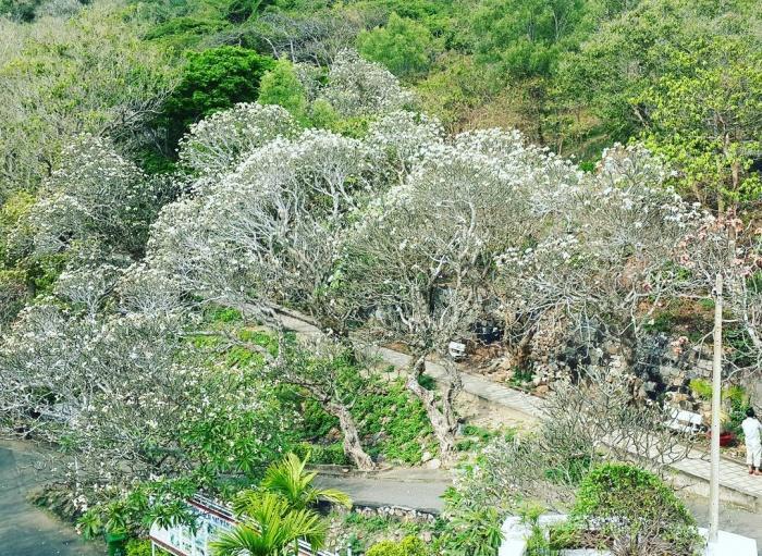 Mùa này phải đến Vũng Tàu để check in dưới những tán cây