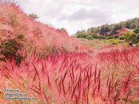 'Lạc trôi' ở Đà Lạt với đồng cỏ lông chồn đẹp mê li