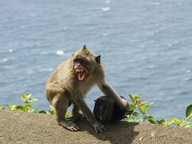 Khỉ 'xã hội đen' giật đồ du khách đổi lấy thức ăn