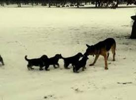 This German Shepherd Plays With His Pups In The Most Cute Way