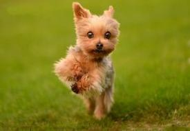 10 Yorkshire Terriers Totally Defying The Laws Of Physics
