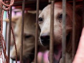 Du khách bị lừa ăn thịt chó ở Bali