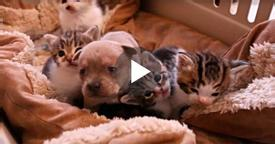 They Put A Newborn Puppy With a bunch of Kittens. When Mama Cat sees The Intruder? Her Reaction… PRICELESS!