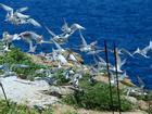 Mùa chim nhạn sinh nở ở khối đá khổng lồ trên Biển Đông