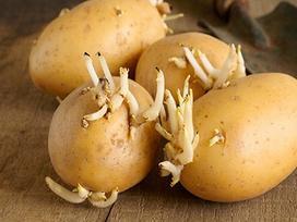 Tại sao dễ chọn nhầm khoai tây độc trong siêu thị?