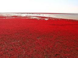 Bãi cỏ đỏ rực, rộng cả trăm km2 ở Trung Quốc
