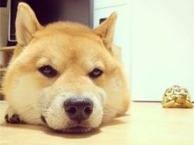 Sống cùng rùa 2 năm, chú chó 'đáng yêu' luôn nghĩ mình cũng là... rùa
