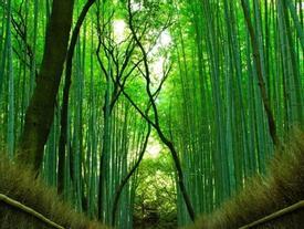 Rừng tre hàng triệu cây thẳng tắp ở Nhật Bản