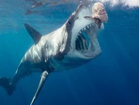Vì sao cá mập trắng hay đớp người lướt sóng?