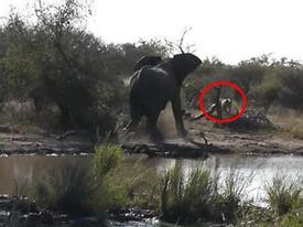 Voi con một mình xua 2 sư tử chạy 'sấp mặt'