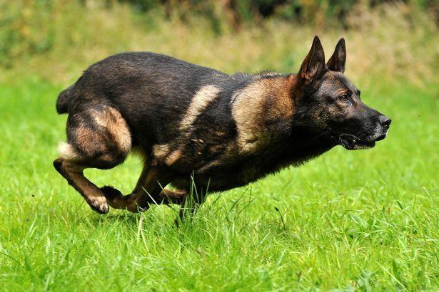 Tên tội phạm 'lầy' nhất năm: Cắn lại chó nghiệp vụ khi bị truy đuổi-5