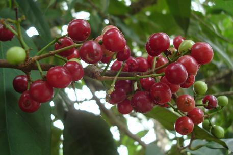 Không thể tin nổi loại quả mọc như cỏ dại ở Việt Nam lại bán 700.000 đồng/1kg ở Nhật-7