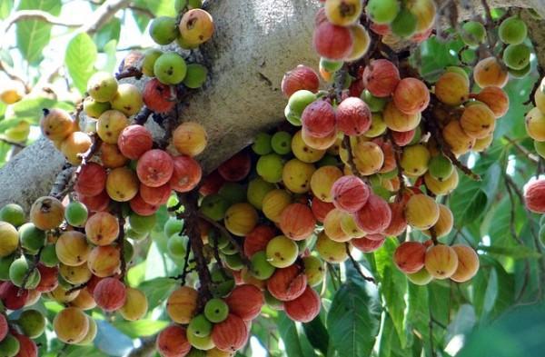 Không thể tin nổi loại quả mọc như cỏ dại ở Việt Nam lại bán 700.000 đồng/1kg ở Nhật-8