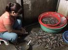 Tin nóng trong ngày 2/8:  Đang bơm tạp chất rau câu vào tôm ươn, một cơ sở ở Hà Nội bị bắt tại trận