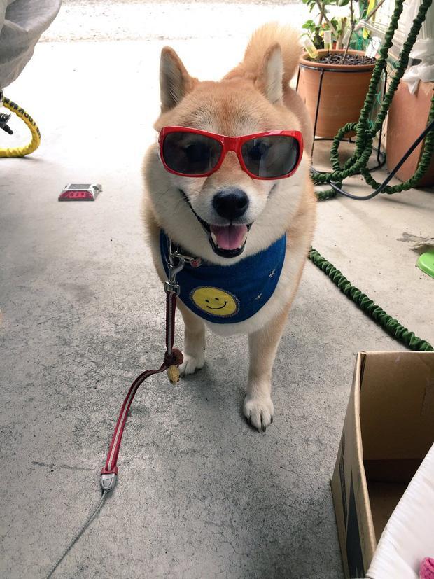 Nàng cún Shiba lầy lội: đã ra đường là không bao giờ chịu về nhà-4