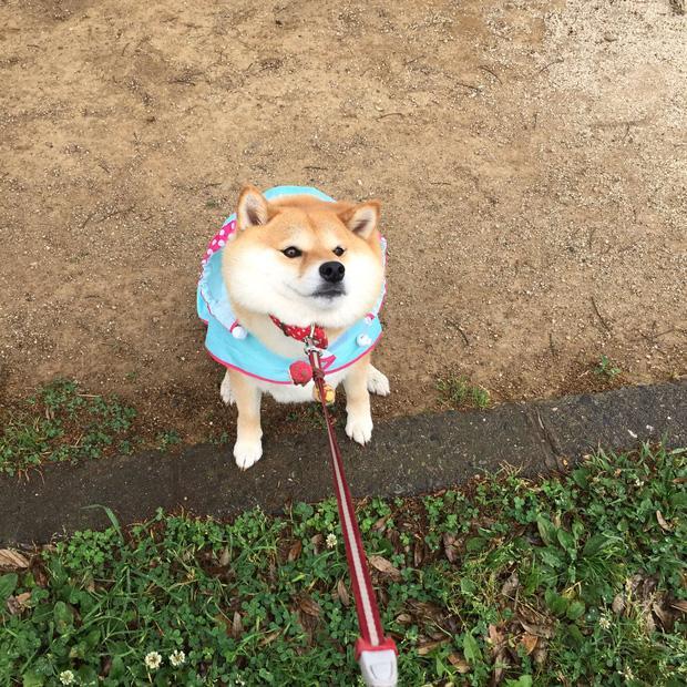 Nàng cún Shiba lầy lội: đã ra đường là không bao giờ chịu về nhà-6