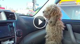He Lets A Homeless Poodle Into His Car. Now Keep Your Eyes On The Dog's Fur. What a wonderful story!!