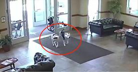 Two Friendly Pit Bulls Wander Into Hospital And Take Everyone By Surprise