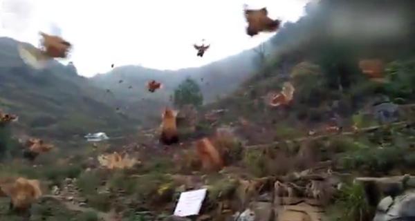 Những con gà biết bay ở Trung Quốc-1