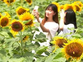 Du khách ùn ùn kéo đến làng hoa hướng dương đẹp sững sờ ở Hàn Quốc