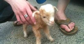 Baby Goat Jumps All Over The Place, and This Footage of Him is Something You Don't Want to Miss