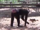 Clip hài: Khỉ suốt ngày đi theo gà để chăm bẵm, ấp iu