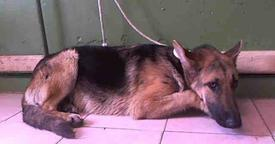 Depressed Shepherd Living in Kill Shelter, Is Just Too Sad To Greet Visitors Anymore