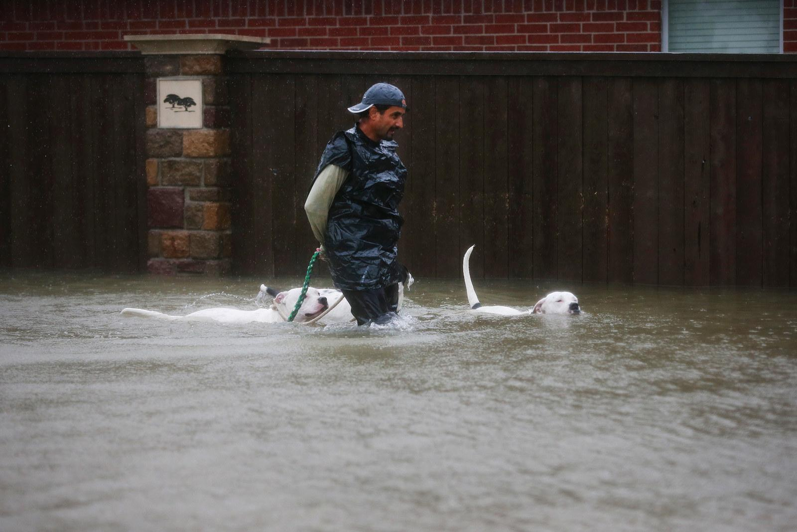 A resident of Clodine, Texas, leads his dogs out of the flood zone on Aug. 28.