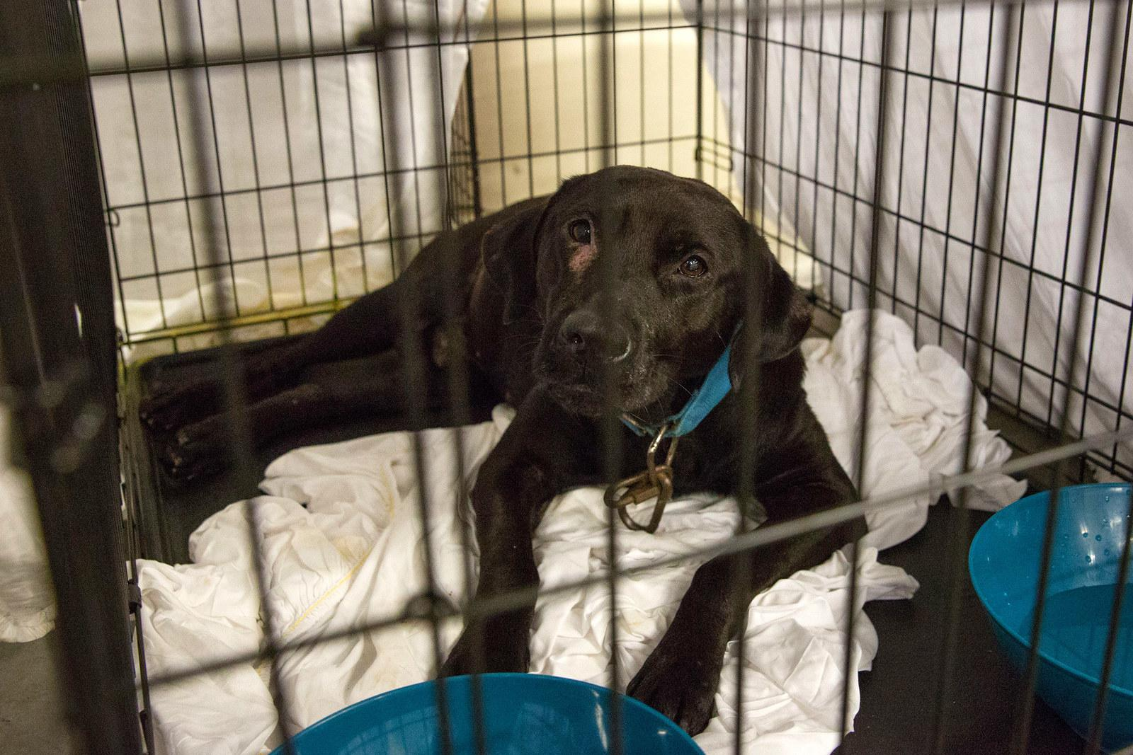 A rescued dog sits in a crate at the Delco Center in Austin on Aug. 27.