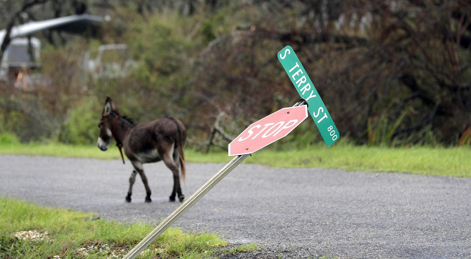 A loose donkey roams a street in Rockport, Texas, on Aug. 28.