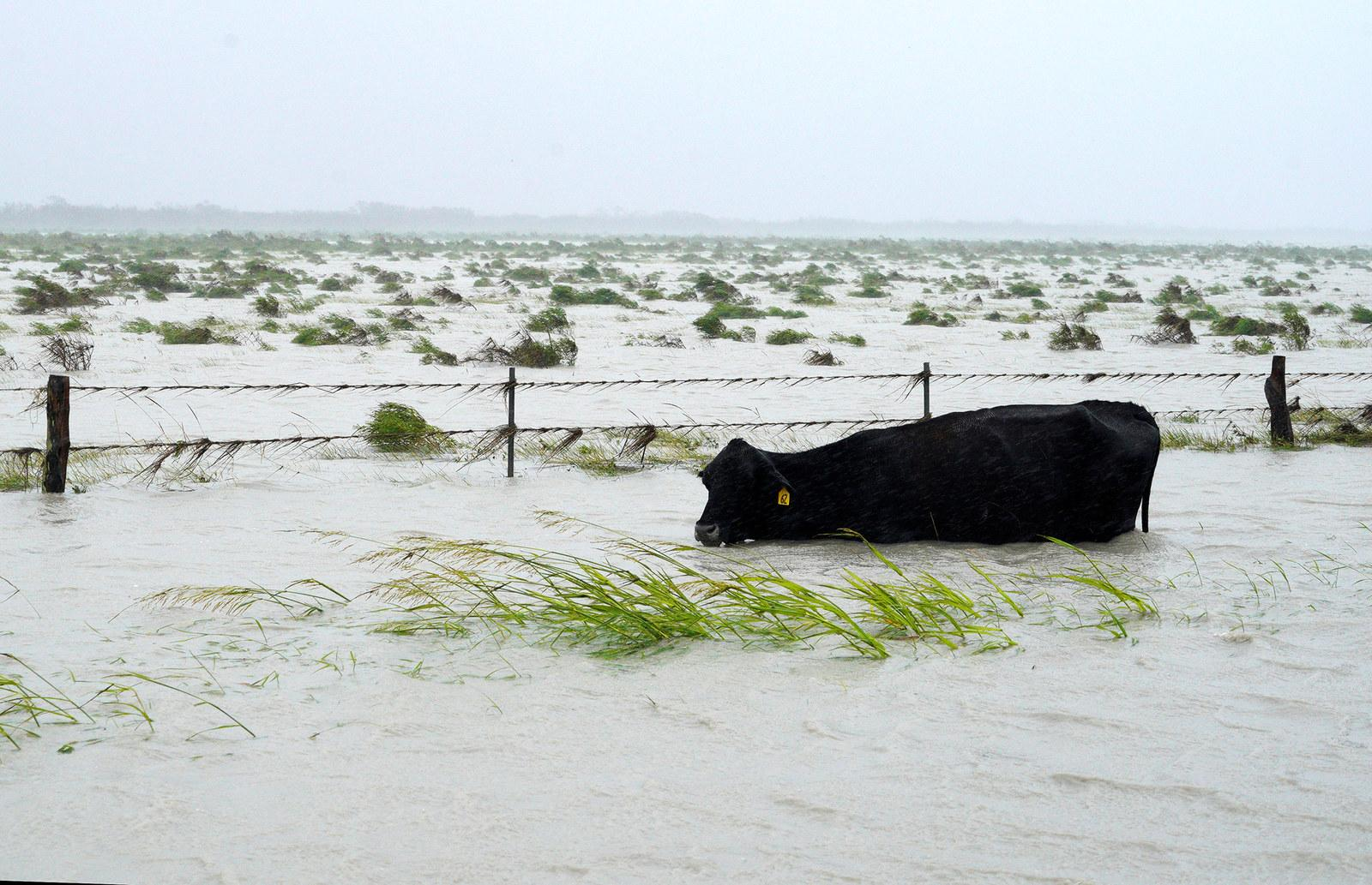 A cow struggles to keep its head above floodwaters near Fulton, Texas, on Aug. 26.
