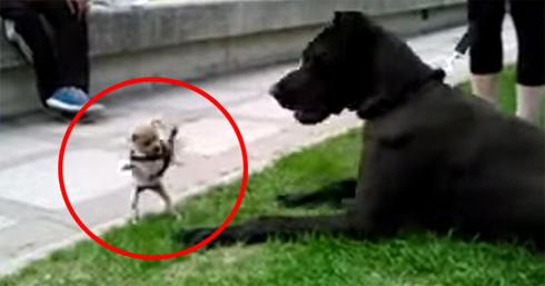 Fearless Chihuahua Takes On Great Dane In Most Endearing Attack Of All Time