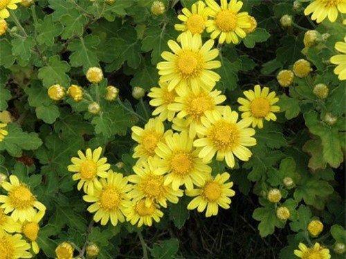 Bài thuốc từ hoa cúc giúp giảm ngay chứng đau đầu, chóng mặt, huyết áp cao-1
